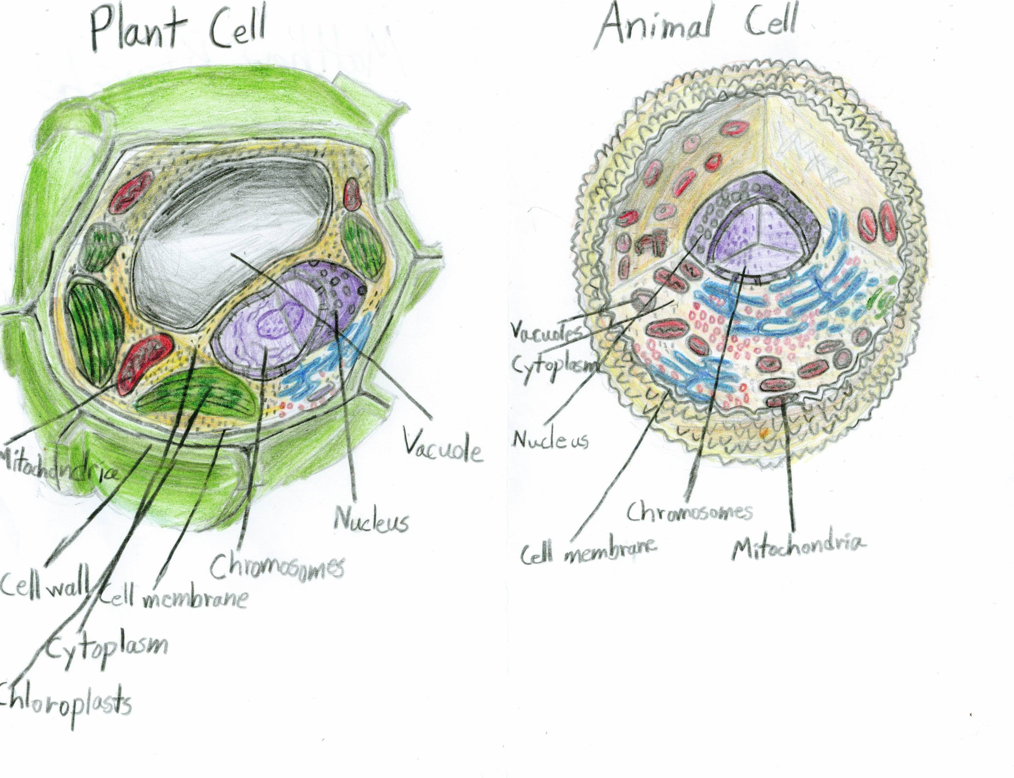 Animal Cell  Plants And Animals On Pinterest